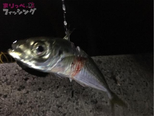 アオリイカ釣り