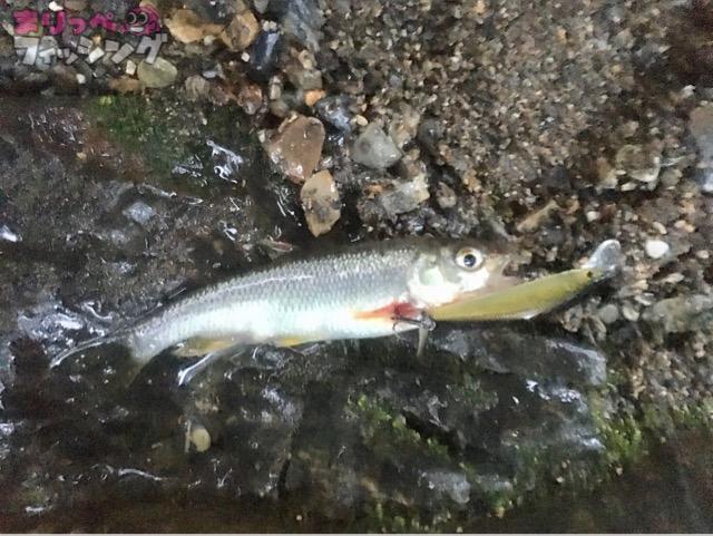 久多川 アマゴ釣り